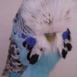 Stock Birds and Show Birds - Gerald Binks UK