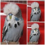 ire Budgerigar Society
