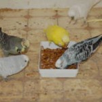 Budgerigars Eating Mealworms