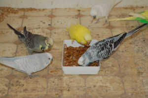 budgerigars_eating_mealworms