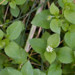 The Wonders of Chickweed by Terry Tuxford UK