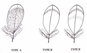 clearwing_feather_types
