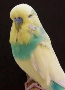 ozeki_spangle_dominant_pied_yellow-face_opaline_sky_small