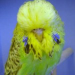 Budgerigar Breeder Profile - George Booth UK