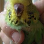 tuxford_green_chick_4_weeks